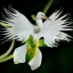 Profile picture of WhiteOrchid